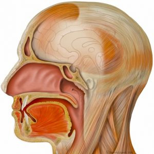Seminar – Advanced Anatomy of the Vocal Tract and the impact on Voice Acoustics<br/>Wed 03.06.20 | 2 – 5pm